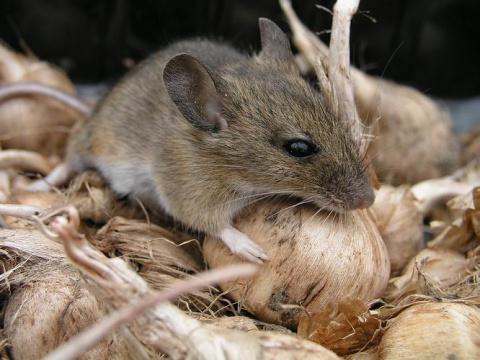 Простые народные средства против мышей в доме