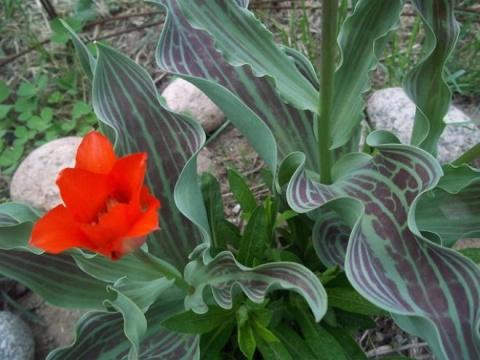 Сорта тюльпанов с декоративными листьями