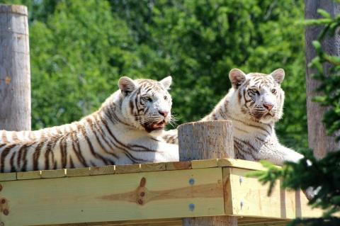 История о двух братьях-тигра…