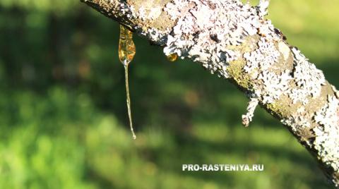 Камедетечение, или «слезы» деревьев. Чем опасен гомоз