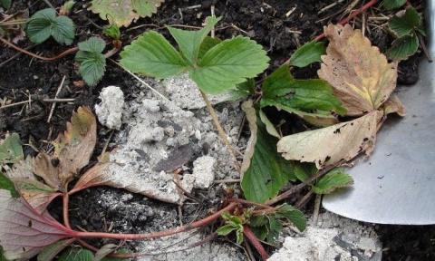 Начинающим садоводам: как можно использовать золу на участке