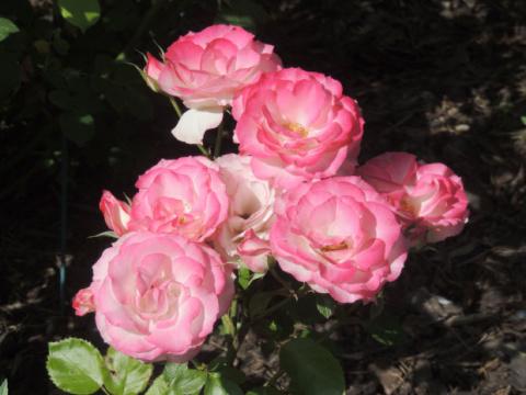 Когда и как снимать укрытие с роз