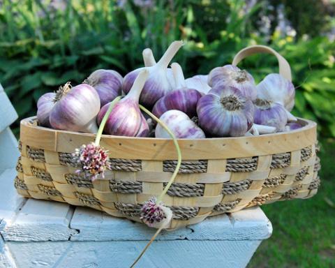 5 маленьких хитростей большого урожая чеснока