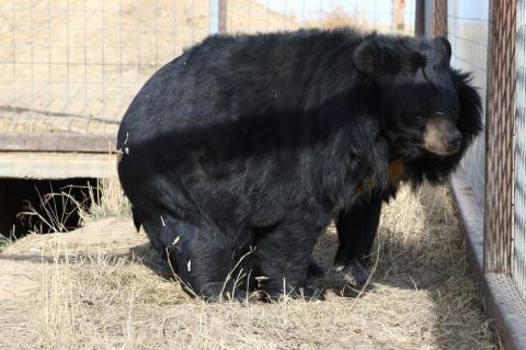 Эту медведицу держали 10 лет в тесной клетке, но ее спасли