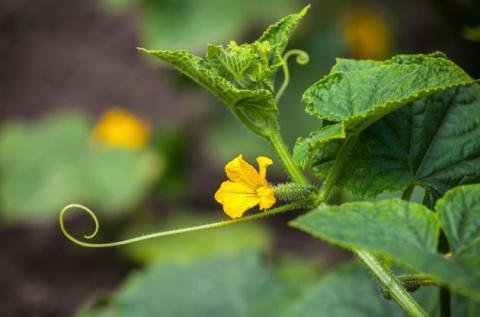 Как бороться с пустоцветом на огурцах