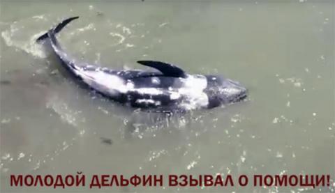 Дельфины просят защиту и помощь