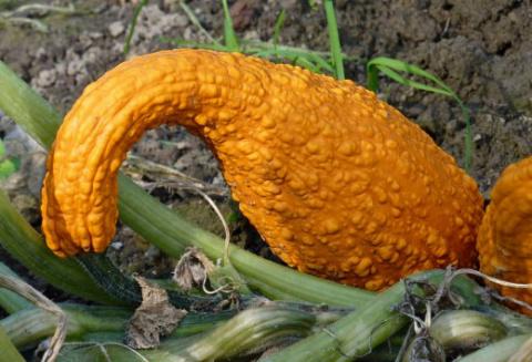 Крукнек скрудж – оригинальная разновидность кабачка