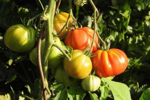 Лучшие сорта томатов для Средней полосы России: многолетний опыт