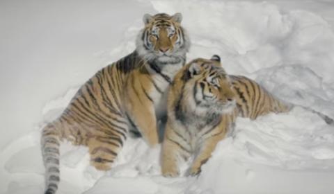 Амурские тигры устроили пого…