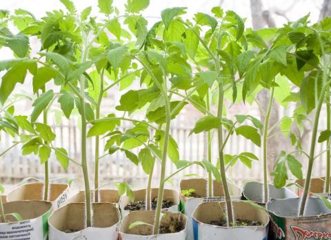 Что делать с переросшей рассадой?