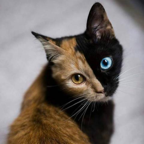Двуликая кошка-химера из Арг…