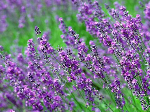 Чабрец — трава богородская