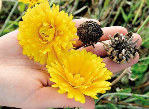 Как собрать семена однолетников?