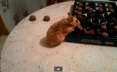 Хозяйственный хомяк собирает конфеты в коробку