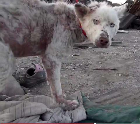 Чудесное спасение умирающей собаки (видео)