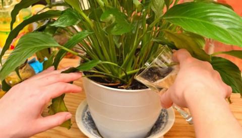Простое средство, способное сотворить чудо даже с самым чахлым растением!