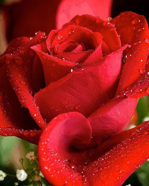 Розы анимации картинки
