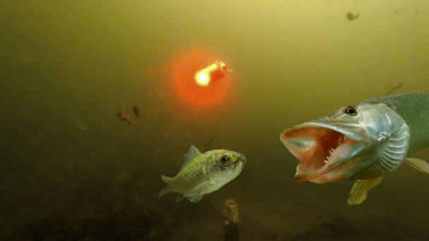 Как клюет щука подводная съемка