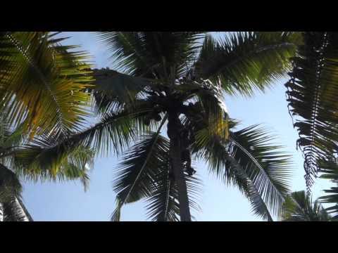 Как добывают кокосы с пальм в Индии