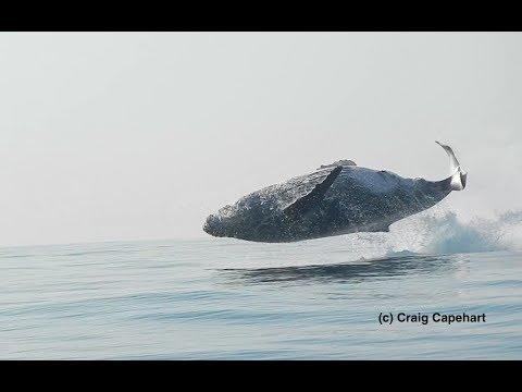 Гигантский кит целиком выскочил из воды: видео
