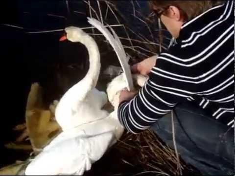 Два умирающих лебедя молили …