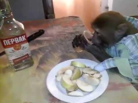 """""""Яша, ты же гражданин России"""". Видео с обезьяной, пьющей водку, стало вирусным"""