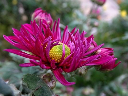 Милой осени цветок