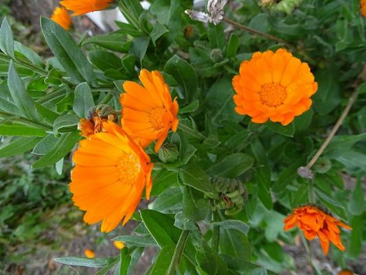 Вновь Календула цветёт