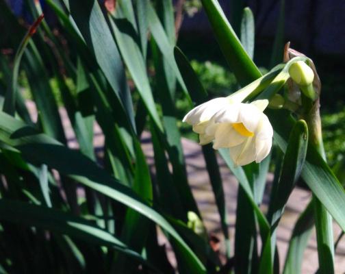 У нас цветут нарциссы