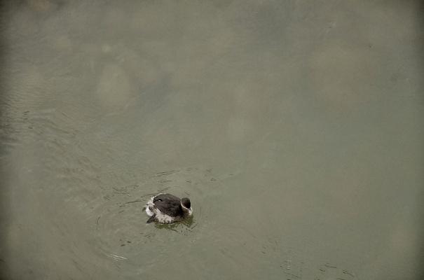 Птенец чайки в горной речке.