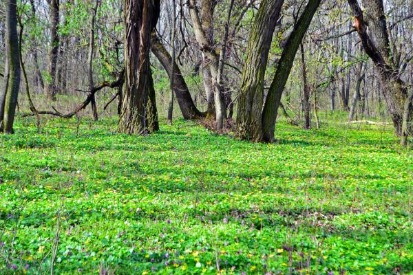 Лесные первоцветы