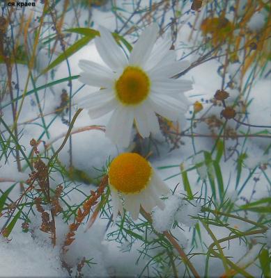 Снегом замело но ромашки не сдаются