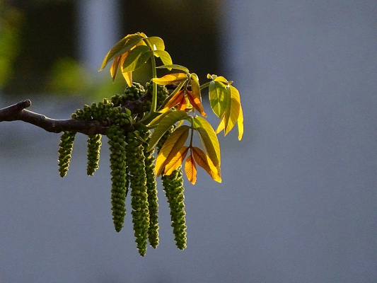 Цветет Грецкий орех