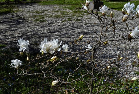 Вот так цветет магнолия в Калининграде.
