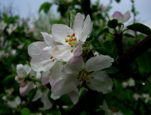Яблоневый цвет после дождика...