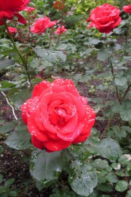 Розы Сретенского монастыря.