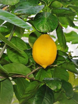 Лимон ...