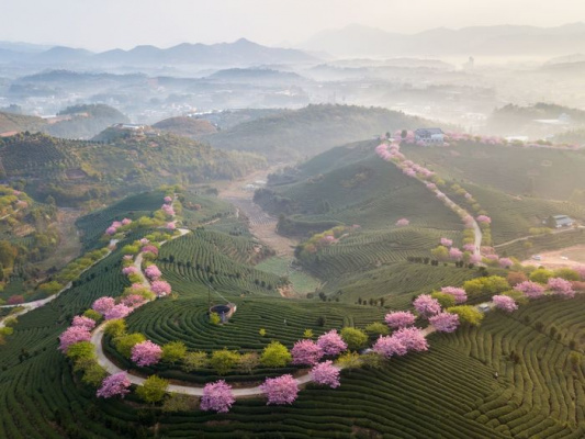 Весна на чайной плантации в Фуцзянь, Китай