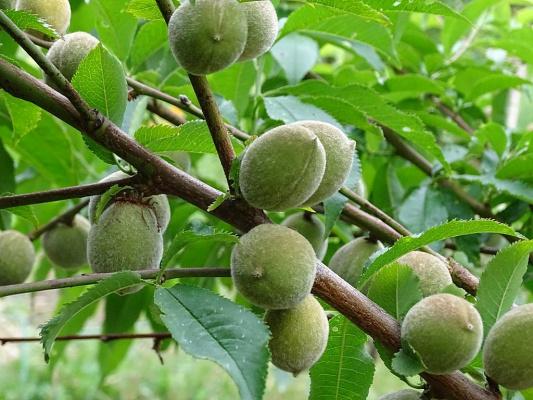 Персики скоро порадуют нас