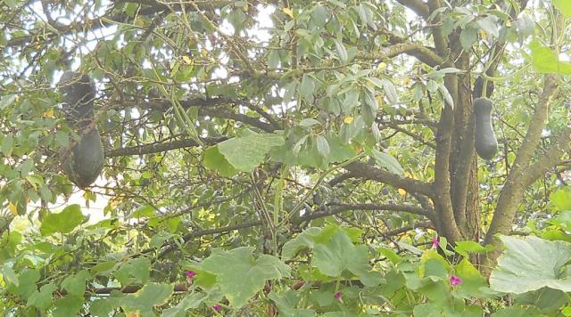 Ну и что ,что у нас кабачки на деревьях растут!