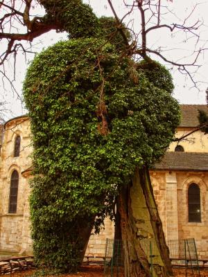 Дерево, которому больше 500 лет.