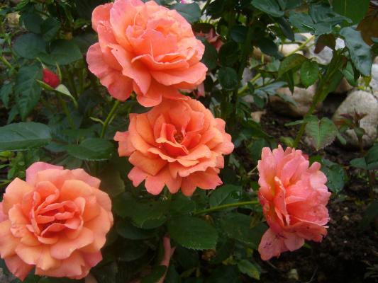 Роза Изи Даз