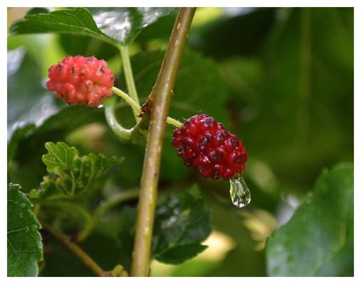 Плоды лета. Шелковица.