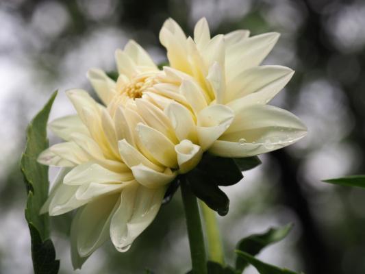 """Я грущу о тебе, уходящее лето. Забираешь с собой ароматы цветов. """"Георгин остается"""" - тихо шепчет об этом ветер летний из сказочно-призрачных снов..."""