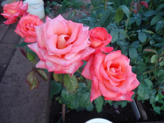 5 роз.