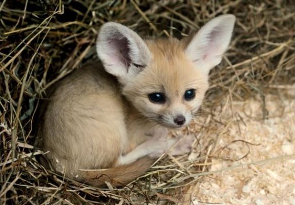 Самый маленький лисёнок в мире.