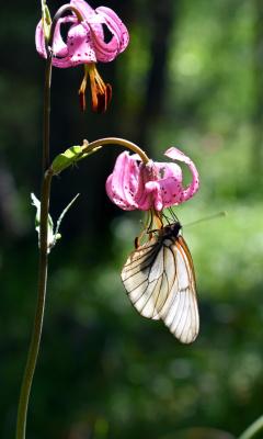 Боярышница на полевой лилии