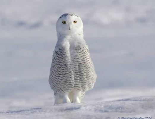 Мудрая птичка - полярная сова