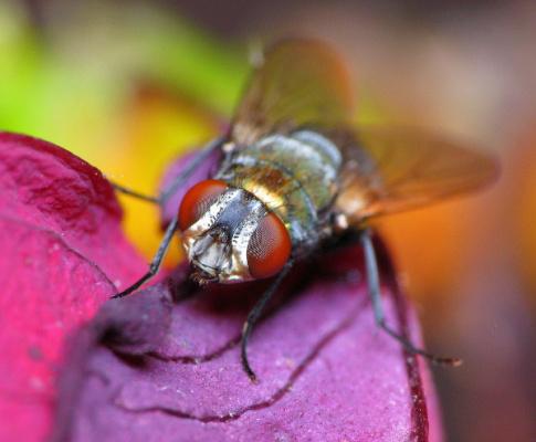 Сколько времени живет муха?