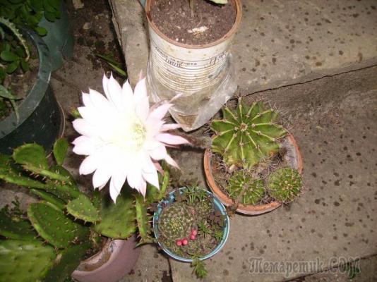 Расцвели кактусы